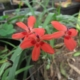 Freesia laxa red
