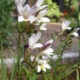 Freesia sparmanii