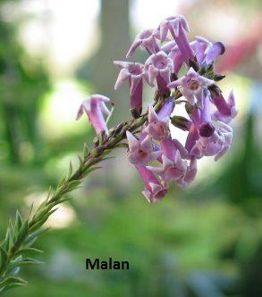 Freylinia crispa