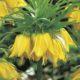 Fritillaria imperialis ssp lutea