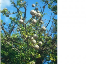Gardenia volkensii