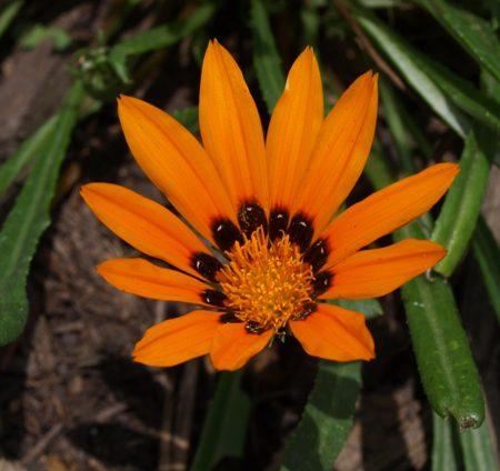 Gazania krebsiana orange