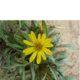 Gazania krebsiana yellow