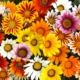 "Gazania ""Sunshine Mix"""