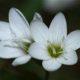 Geissorhiza inconspicua