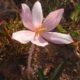 Gethyllis villosa