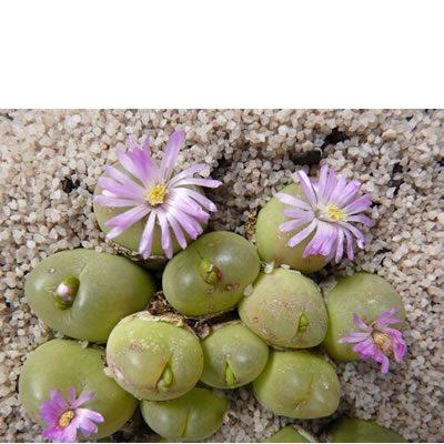 Gibbaeum cryptopodium