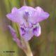 Gladiolus patersonii