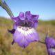 Gladiolus rogersii