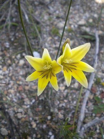 Gladiolus trichonemifolius (10)