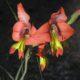 Gladiolus alatus SEEDLING bulb