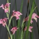 Gladiolus carinatus purple lip