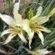 Gladiolus carinatus small light