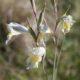 Gladiolus carinatus pale blue/grey