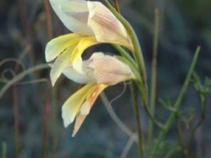 Gladiolus carinatus yellow small