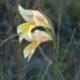 Gladiolus carinatus yellow small
