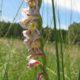 Gladiolus crassifolius