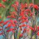 Gladiolus cunonius