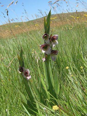 Gladiolus ecklonii BULB