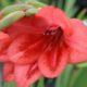 Gladiolus flanaganii