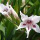 Gladiolus floribundus