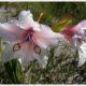 Gladiolus floribundus ssp. rudis