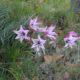 Gladiolus floribundus DARK LINE
