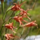 Gladiolus liliaceus - many frowers