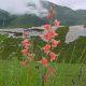 Gladiolus oppositiflorus