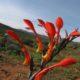 Gladiolus saccatus