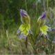 Gladiolus scullyi (10)