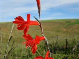 Gladiolus teretifolius