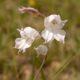 Gladiolus wilsonii (10 seeds)