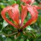Gloriosa virescens