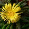 Glottiphyllum surrectum