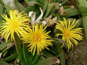 Glottiphyllum linguiforme