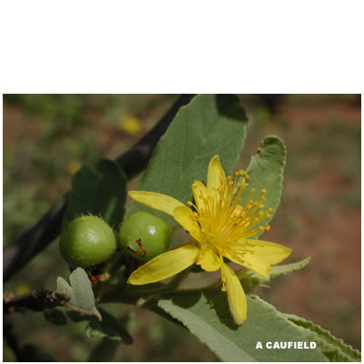 Grewia flava