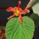 Grewia villosa