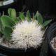 Haemanthus humilis subsp. hirsutus