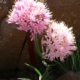 Haemanthus humilis ssp. humilis BULB