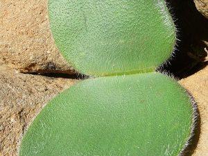 "Haemanthus humilis ssp. humilis ""BELL"" BULB"