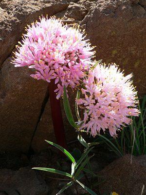 Haemanthus humilis ssp. humilis WINBURG