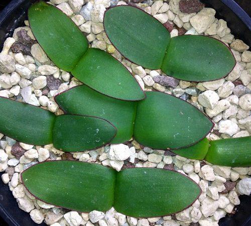 Haemanthus lanceifolius BULB
