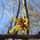 Hamamelis japonica var obtusata