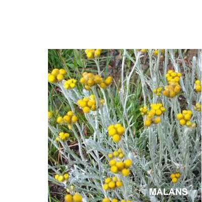 Helichrysum anomalum