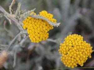 Helichrysum moeserianum