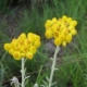 Helichrysum odoratissimum
