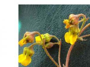 Hermannia alnifolia