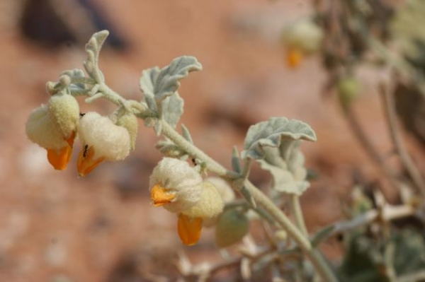 Hermannia comosa