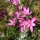 Hesperantha pauciflora
